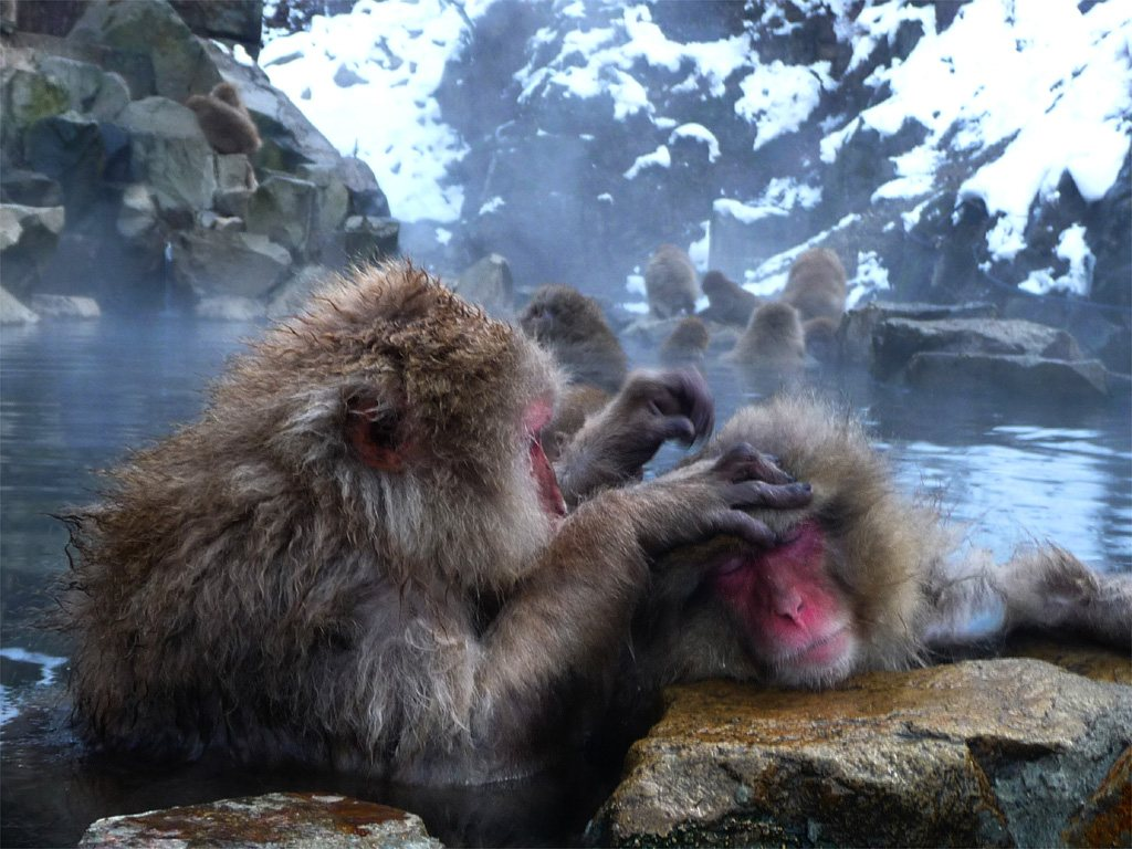 Jigokudani Monkey Park for Japan Travel Packages (JapanTravelPackages.com)